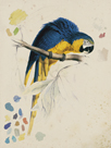 Sketchbook Macaw I by Edward Lear