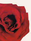 Red Rose by Will Taylor