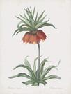 Fritillaria Imperialis by Pierre Joseph Redoute