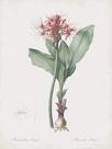 Haemanthus Multiflorus by Pierre Joseph Redoute