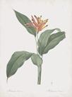 Heliconia Psitaccorum by Pierre Joseph Redoute