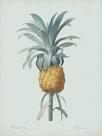 Bromelia Ananas - Celadon by Pierre Joseph Redoute