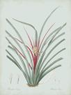 Bromelia Karatas - Celadon by Pierre Joseph Redoute