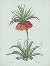 Fritillaria Imperialis - Celadon by Pierre Joseph Redoute
