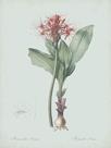 Haemanthus Multiflorus - Celadon by Pierre Joseph Redoute