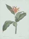 Heliconia Psitaccorum - Celadon by Pierre Joseph Redoute