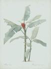 Musa Coccinea - Celadon by Pierre Joseph Redoute