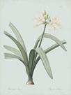 Pancratium Illyricum - Celadon by Pierre Joseph Redoute