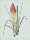 Tritoma Uvaria - Celadon by Pierre Joseph Redoute