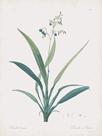 Dianella Ensifolia by Pierre Joseph Redoute