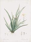 Moraea Iridioides by Pierre Joseph Redoute
