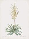 Yucca Filamentosa by Pierre Joseph Redoute