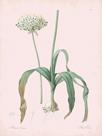 Allium Nigrum - Rose by Pierre Joseph Redoute