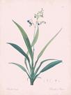 Dianella Ensifolia - Rose by Pierre Joseph Redoute