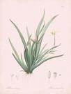 Moraea Iridioides - Rose by Pierre Joseph Redoute