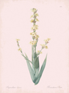 Sisyrinchium Striatum - Rose by Pierre Joseph Redoute