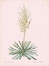 Yucca Filamentosa - Rose by Pierre Joseph Redoute