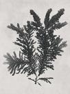 Ptilota plumosa - Noir by Henry Bradbury