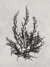 Cystoseira ericoides - Noir by Henry Bradbury