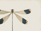 Blue Tipped Dragonfly by The Drammis Collection