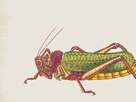 Orthoptera by The Drammis Collection