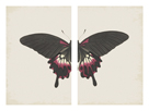 Papilio Deiphobus by The Drammis Collection