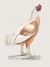 Malabar Cock by The Drammis Collection
