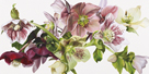 Hellebore Melody by Sarah Caswell