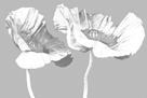 Poppy Duet by Derek Harris