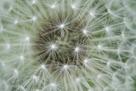 Dandelion Wish by Wild Wonders of Europe