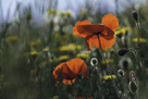 Commemoration Poppies by Wild Wonders of Europe