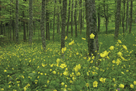 Buttercup Greeting by Wild Wonders of Europe