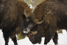 Locking Horns by Wild Wonders of Europe