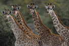 Giraffes in a Row by Staffan Widstrand