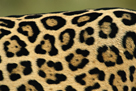 Leopard Spots by Staffan Widstrand