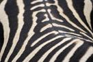 Zebra Stripes by Staffan Widstrand