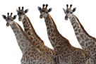 Giraffes in a Row - Pure by Staffan Widstrand