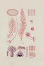 Asparagopais Delioi by The Drammis Collection