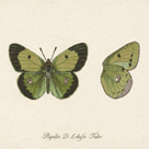 Papilio Edusa Fabr by A. Poiteau