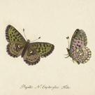 Papilio Euphrosyne Fabr by A. Poiteau