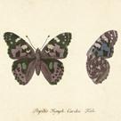 Papilio Nymph Cardui Fabr by A. Poiteau