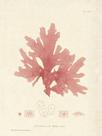 Nitophyllum hilliae by Henry Bradbury