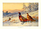 Cock and Hen Pheasant in the Snow by Archibald Thorburn