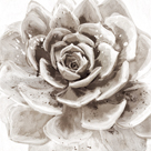 Cereus Sempervivum - Fawn by Tania Bello