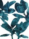 Ficus Elastica by Tania Bello